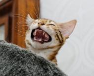 A leopard roar