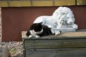 Pixie slappar hos lejonet